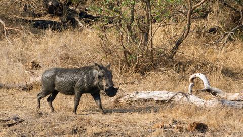 Ein Warzenschwein streift durch die Wildnis.