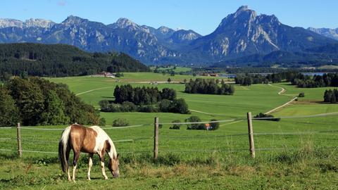 Ein Pferd in den grünen Wiesen vor den Allgäuer Alpen.