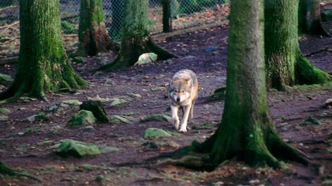 Wolf durchstreift den Wald