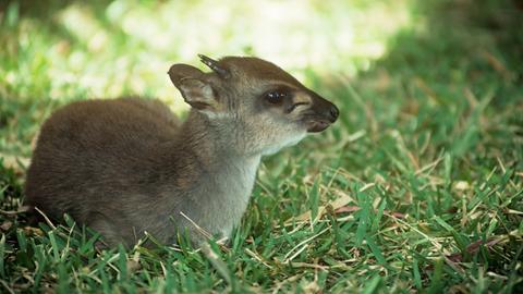 Eine liegende Ducker-Antilope