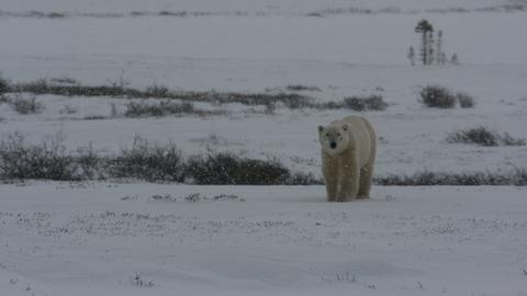 Ein Eisbär auf Streifzug in der arktischen Kälte.