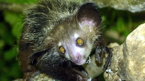 Das Fingertier oder Aye-Aye ist eine Primatenart aus der Gruppe der Lemuren.