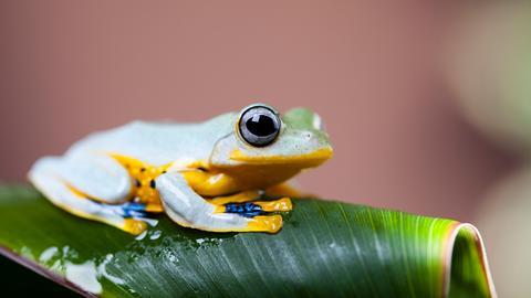 Weißer Frosch mit blauen und gelben Flecken