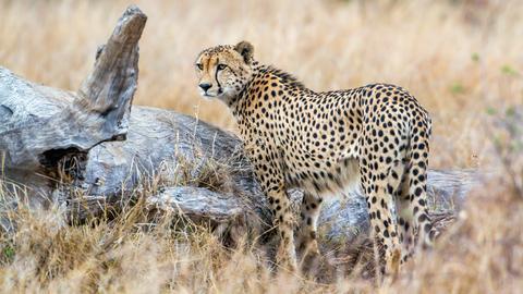 Gepard in der Steppe.