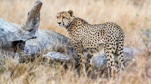 Lässt sich der Gepard überlisten?