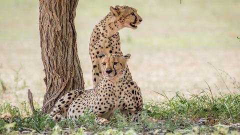 Zwei Geparden neben einem Baumstamm.