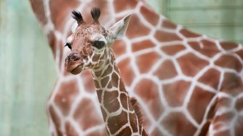 Kleine Giraffe mit Mutter im Hintergrund
