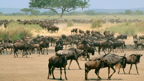 Eine Gnuherde in der Serengeti.