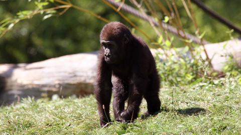 Junger Westlicher Flachlandgorilla
