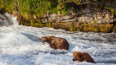 Zwei Grizzly-Bären im Fluss mit Lachs
