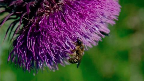 Eine Wildbiene beim Pollensammeln.