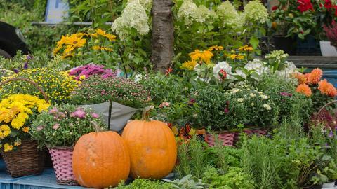 Herbstliche Blumen und Kürbisse