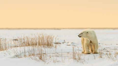 Eisbär (Ursus maritimus), junges Männchen im späten Nachmittagslicht, West Hudson Bay, Churchill.