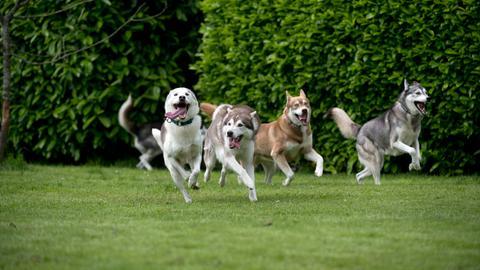 Vier rennende Huskys