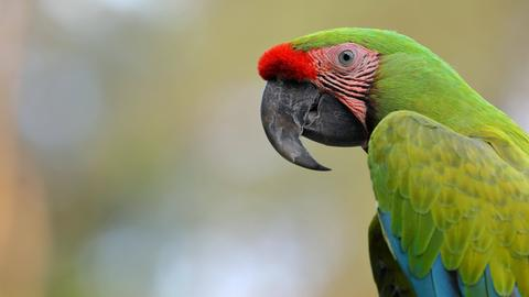 Ein Großer Soldatenara (Ara ambigua) im Tierpark Herborn-Uckersdorf. Ein Papagei mit grünen und blauen Federn und einer roten Stelle über dem dunklen Schnabel.