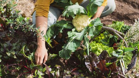 Eine Frau ernetet Gemüse in ihrem Gemüsekarten. Sie hält einen prächtigen Blumenkohl in ihren Händen. Neben ihr im Beet steht ein Korb voller Gemüse.