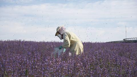 Imker in einem blühenden Salbeifeld versorgt Bienenstock