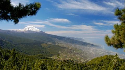 Kanarenkiefer, Kanarische Kiefer (Pinus canariensis), Kiefern vor Teide, Spanien, Teneriffa