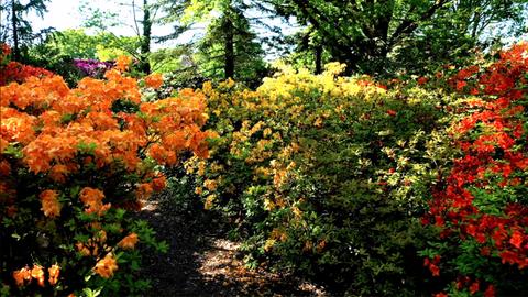 Die Rhododendronsammlung im Park der Gärten zählt zu den größten Europas.