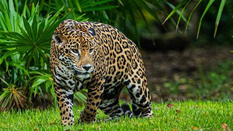 Ein sich heranschleichender Jaguar