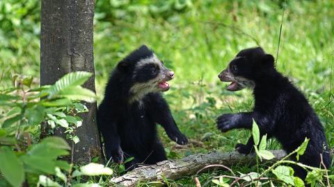 Zwei kleine Brillenbären neben einem Baum