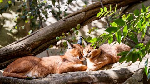 Zwei in der Sonne liegende Karakale.