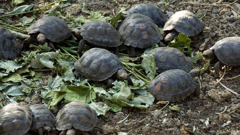 Mehrere kleine Schildkröten