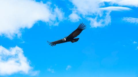 Kondor im Anflug.