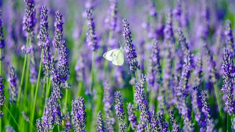 Schmetterling im Lavendelfeld.