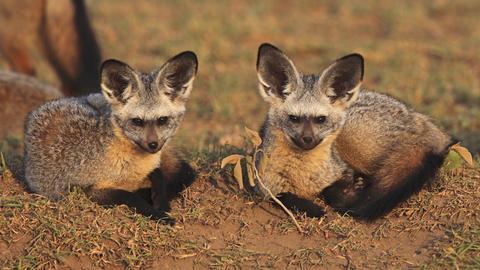 Zwei Löffelhunde in der Savanne