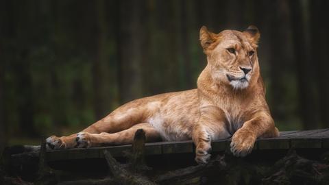 Eine liegende Löwin