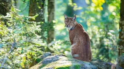 Luchs (Lynx lynx) sitzt auf einem Fels im Bayerischen Wald.