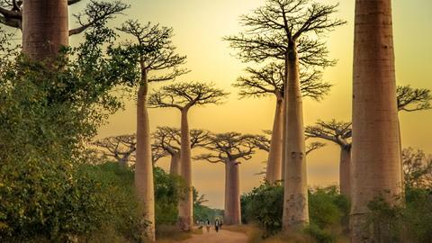 Weg durch Affenbrotbäume