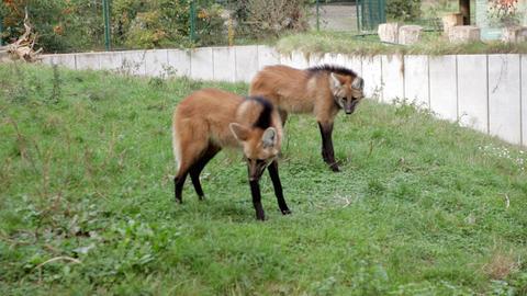 Mähnenwölfe (Chrysocyon brachyurus) im Frankfurter Zoo.