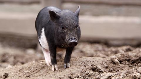 Schwarz-weißes Minischwein
