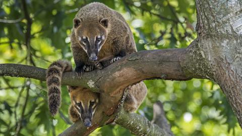 Zwei Nasenbären auf einem Ast sitzend