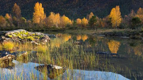 Birken an einem Gewässer in Norwegen