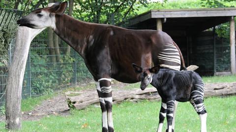 Okapi mit Nachwuchs