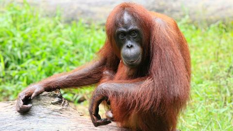 Ein sitzendes Orang-Utan-Weibchen