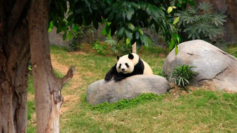 Pandabär im Grünen