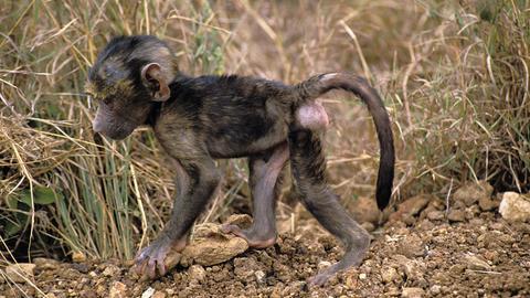 Ein kleines Pavian-Baby