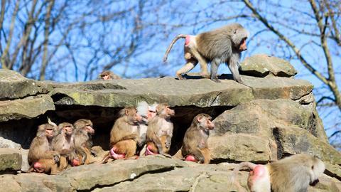 Eine Gruppe von Pavianen
