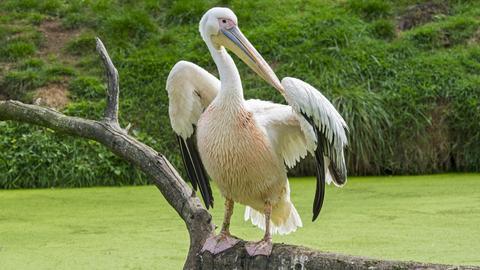 Pelikan im Grünen auf einem Ast sitzend