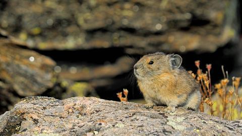 Pfeifhase auf einem Stein in den Rocky Mountains.