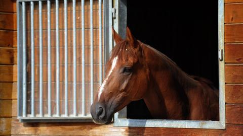 Braunes Pferd, das aus seinem Stall rausschaut.