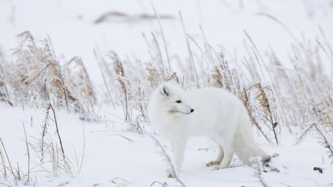 Ein weißer Polarfuchs im Schnee
