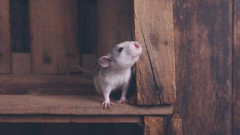 Eine junge Ratte