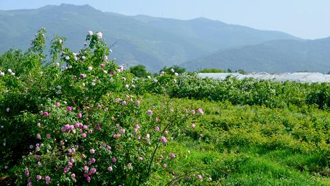 Die berühmten Rosenfelder in der thrakischen Tal nahe Kazanlak Bulgarien.