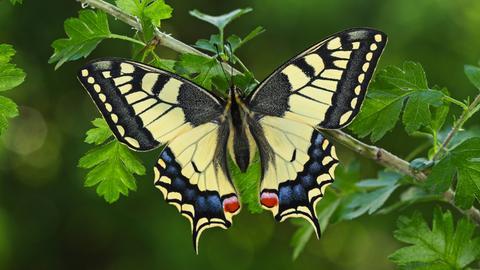 Schwalbenschwanz (Papilio machaon), sitzt an einem Strauch