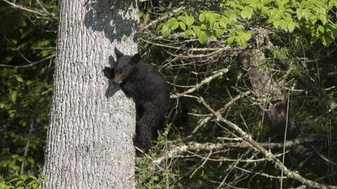 Ein junger Schwarzbär klettert am Baumstamm